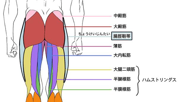 背面から見た下半身の筋肉