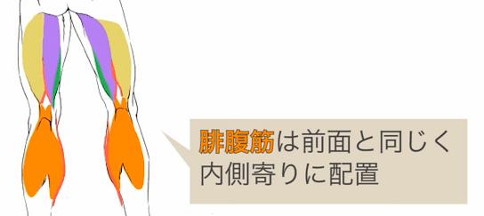 腓腹筋の配置