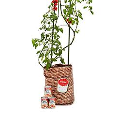 家のベランダでも簡単にできちゃう!「育てる♥」「収穫する」「味わう」トマト栽培キット