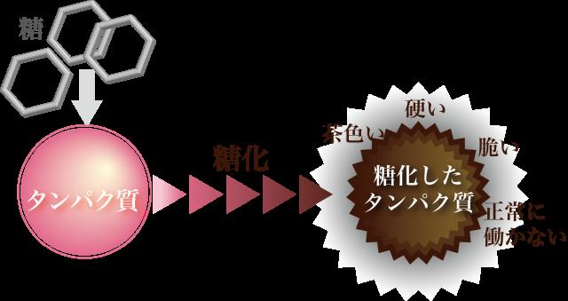 からだサポート研究所公式HP_タンパク質の糖化