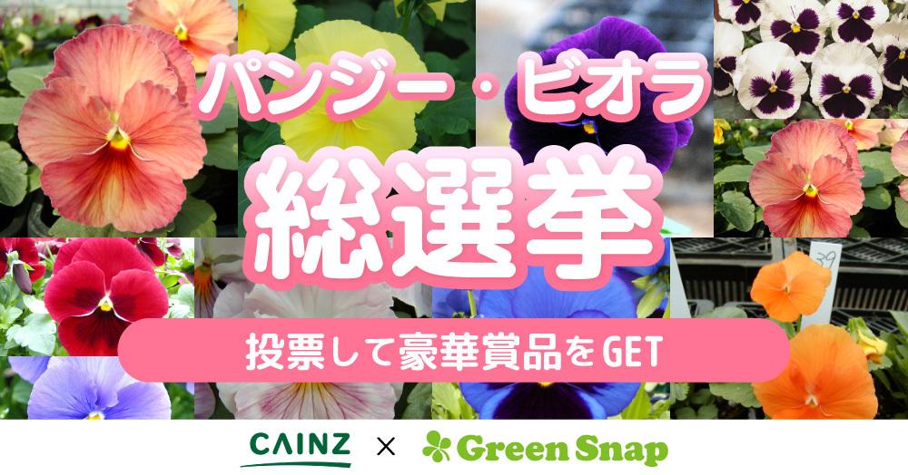 パンジーの総選挙★好きな色に一票入れよう!キャンペーン!CAINZ×GreenSnap