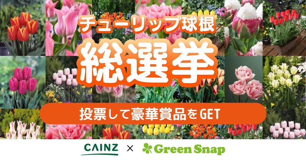 チューリップの球根総選挙★自分のお庭で育てたいチューリップの総選挙キャンペーン!CAINZ×GreenSnap