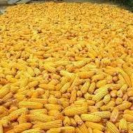 like_a_corn