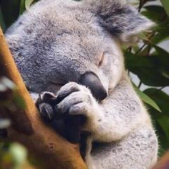 koala_af