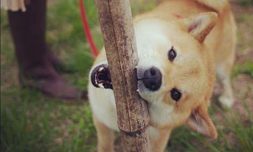 柴犬が大喜びで遊んでくれる! 柴犬が好きなおもちゃ特集