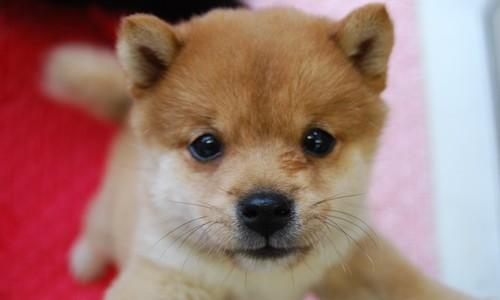 【柴犬のVIP画像を集めてみました♡】こんなに可愛くって面白い。