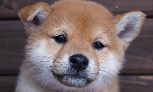 【お役立ち】柴犬の子犬の体重ってどのくらい?【健康管理