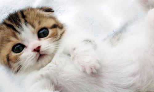 【猫のダックスフンド】マンチカンのヘルニアまとめ