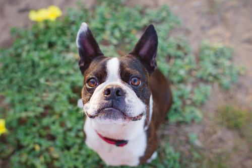 温厚で賢い犬界の紳士ボストン・テリア!  飼い方や特徴について。