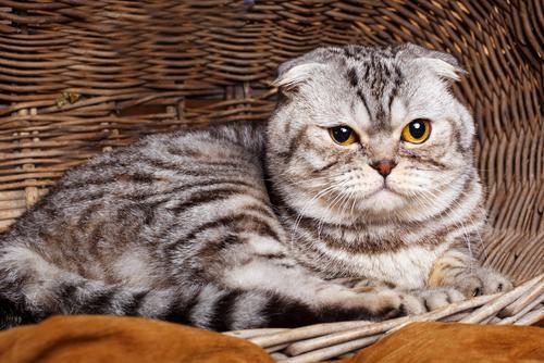 【人気の猫種】スコティッシュフォールドの値段について