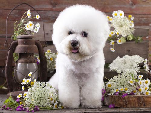 小型犬界で話題! ビション・フリーゼの飼い方や特徴、カットを紹介