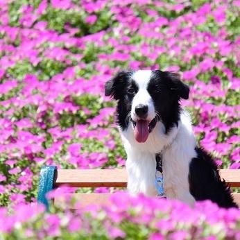 マザー牧場のお花畑〝桃色吐息〟で愛犬の写真を撮ろう | PECO(ペコ)