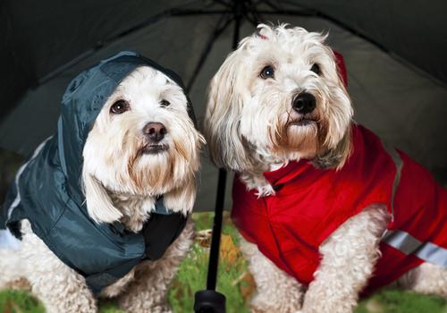 【雨の日もへっちゃら】犬のレインコート、その作り方のまとめ!