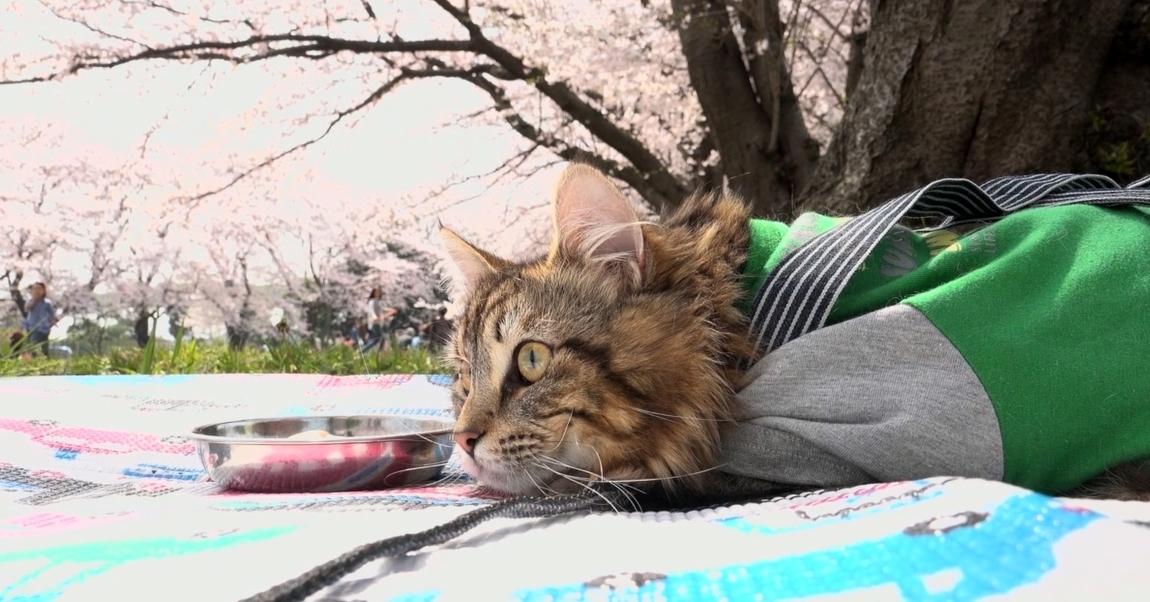 【おめかししたよ♪】ウキウキお花見ドライブ!猫のおさむ、満開の桜に大興奮!