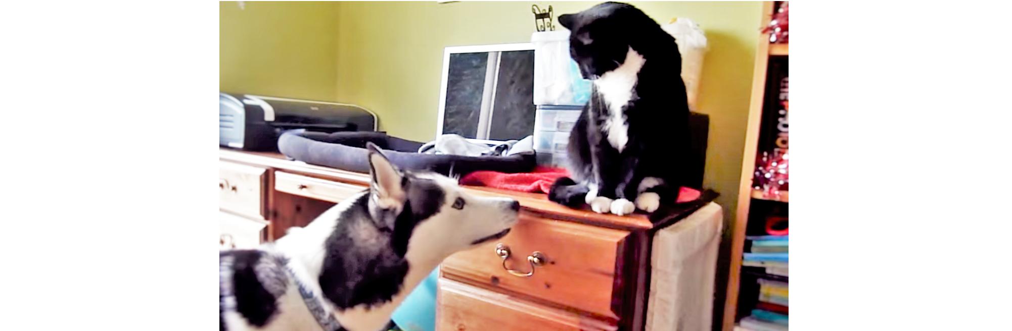 """『一緒に遊ぼう!』新入りニャンコを """"ハスキー語"""" で誘いまくるワンコが… ピュアで可愛い♡"""