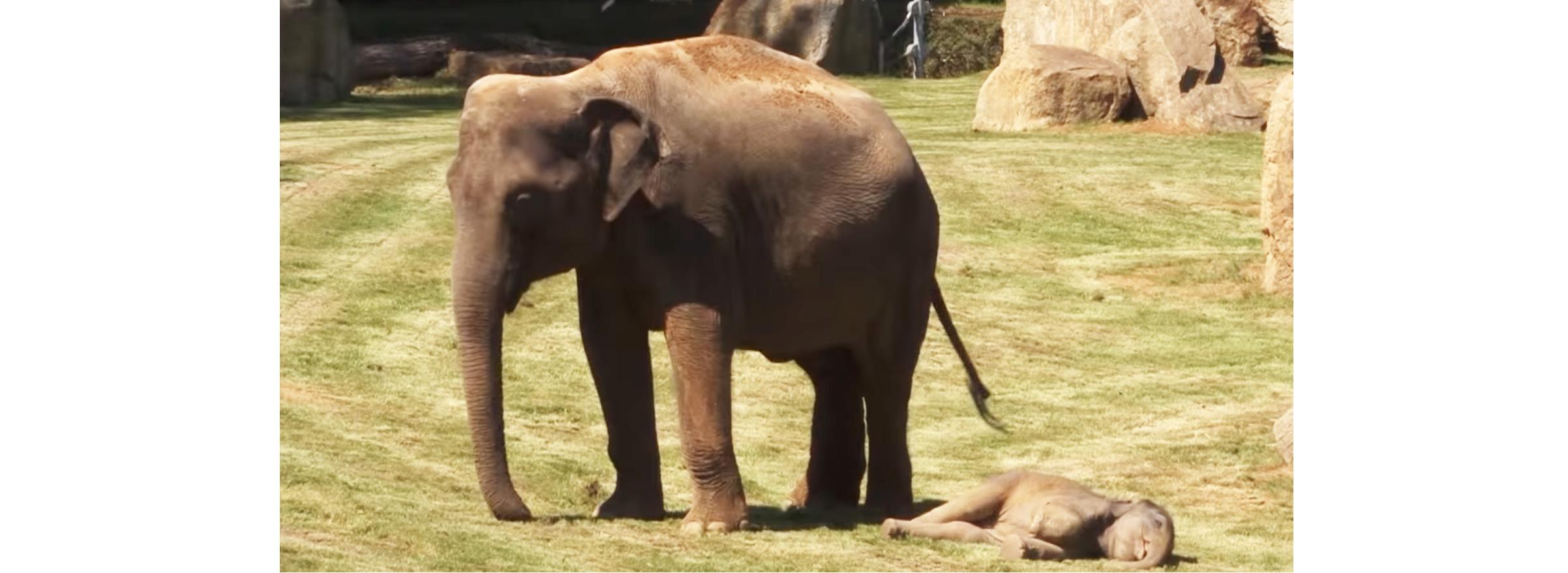 『起こしても、子ゾウが起きない…』困り果てたママのとった行動が、あまりにも可愛かった♡