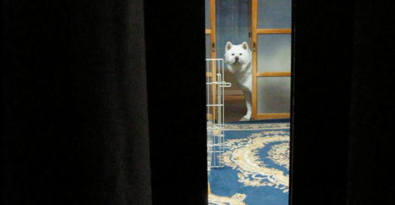 【どこにいるかな?】秋田犬げんきと飼い主のほっこりかくれんぼ☆