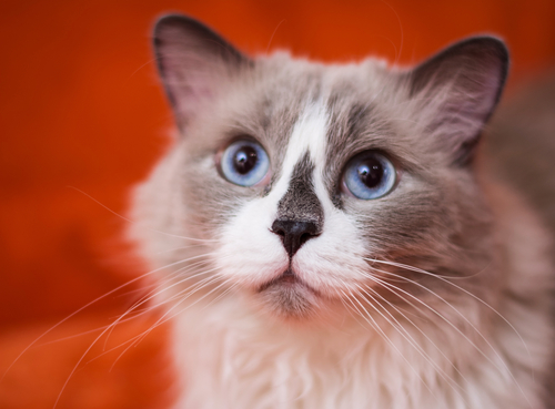 世界一体重の重い猫『ラグドール』の飼い方・価格・特徴について