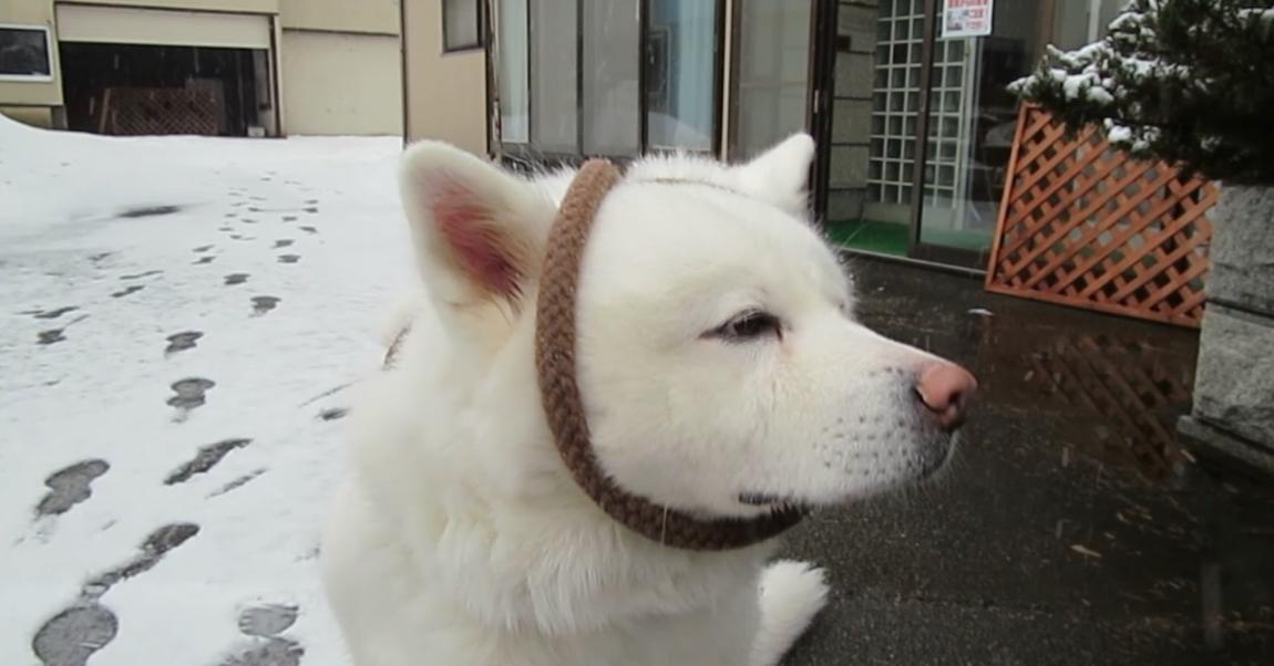 【何かがおかしいぞ?】秋田犬げんき、ひもを巻き付けられてされるがまま!?