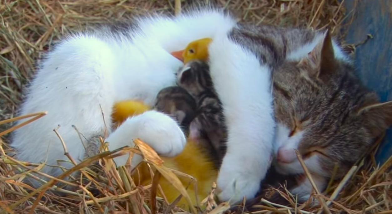 【母猫の優しさは世界一ぃ!】3羽のアヒルのヒナ、そのお母さんは優しいママニャンコでした♪
