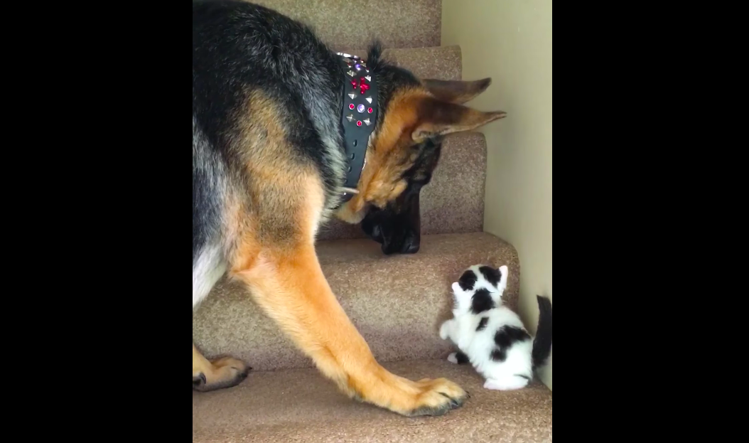 「手伝うのだワン!」子猫にとって階段は大きな壁! それを理解してる犬がイケメンすぎた〜♡