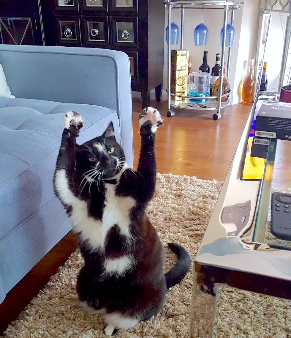 """【何かのメッセージ?】写真のたびに """"あるポーズ"""" を取るようになった猫、謎のかわいさを発する♡"""