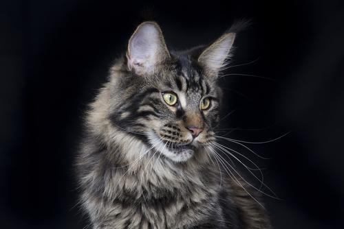 """""""穏やかな巨猫""""メインクーンの飼い方・歴史・特徴などの全て"""