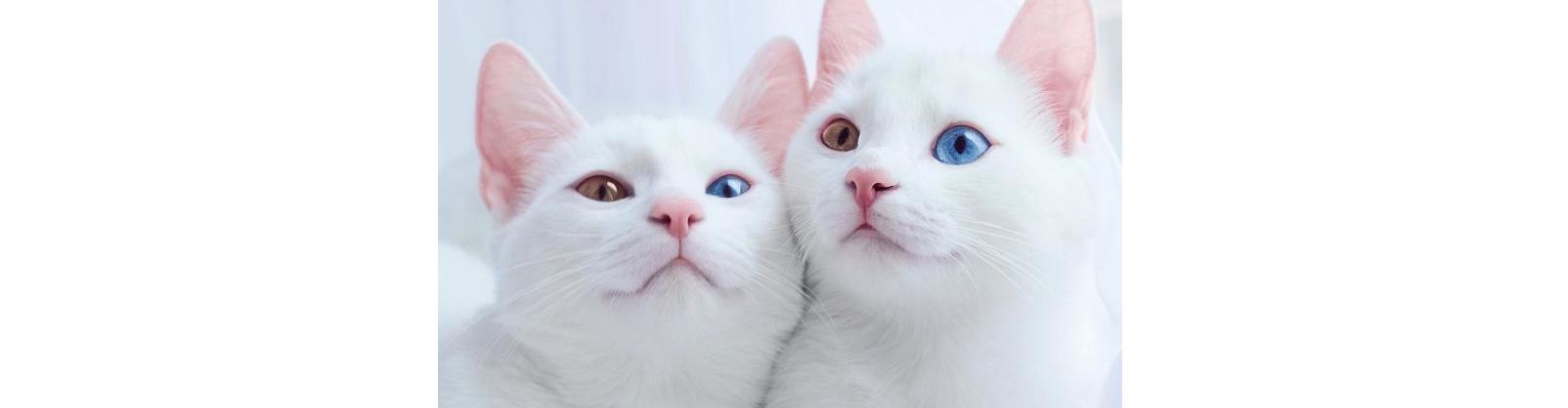 【目の色まで一緒】オッドアイの双子の白猫ちゃん。神々