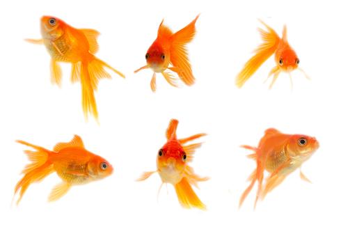 金魚 古くから愛される『金魚』の飼い方・種類・特徴の全て