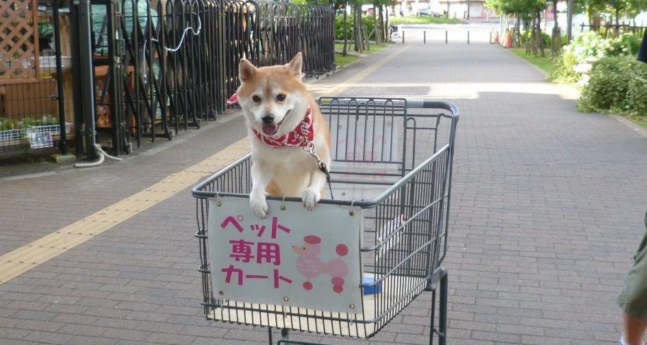 ご主人とのお買い物が、大好きな柴犬♪ 超ウキウキでカートに乗り込む姿が、ヤンチャすぎる!(3枚)