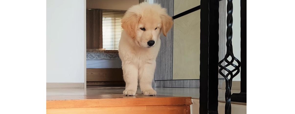 階段を見つめる子犬。そのまま降りるのかと思いきや…「まさかの行動」が可愛すぎた( *´艸`)♡