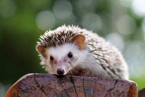 ハリネズミ|飼い方や歴史、生態などのすべて