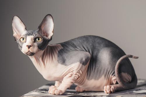 """神秘的、毛のない猫""""スフィンクス""""その特徴、性格、飼い方のすべて"""