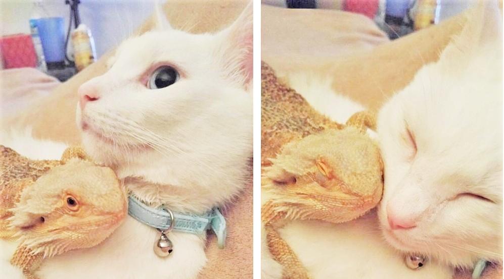 【一目惚れ♡】トカゲが大好きな白猫。2匹の種族を超えた愛に、胸がキュンとする…(*´ェ`*) 7枚