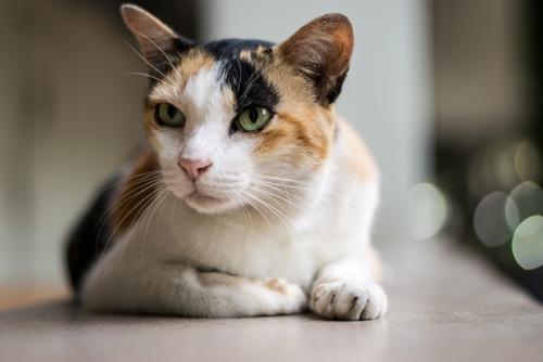 猫のワクチンって必要なの? 費用は? 猫のワクチンについてまとめ
