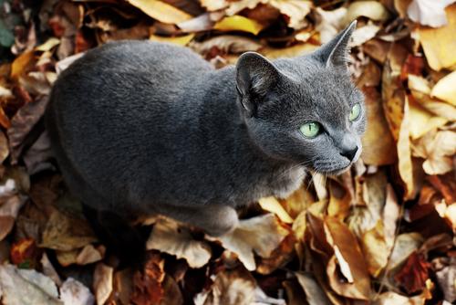 まるで犬のような猫? ロシアンブルーの魅力と飼い方!