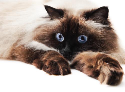 シャムとペルシャのハーフ猫! ヒマラヤンの飼い方や性格は?