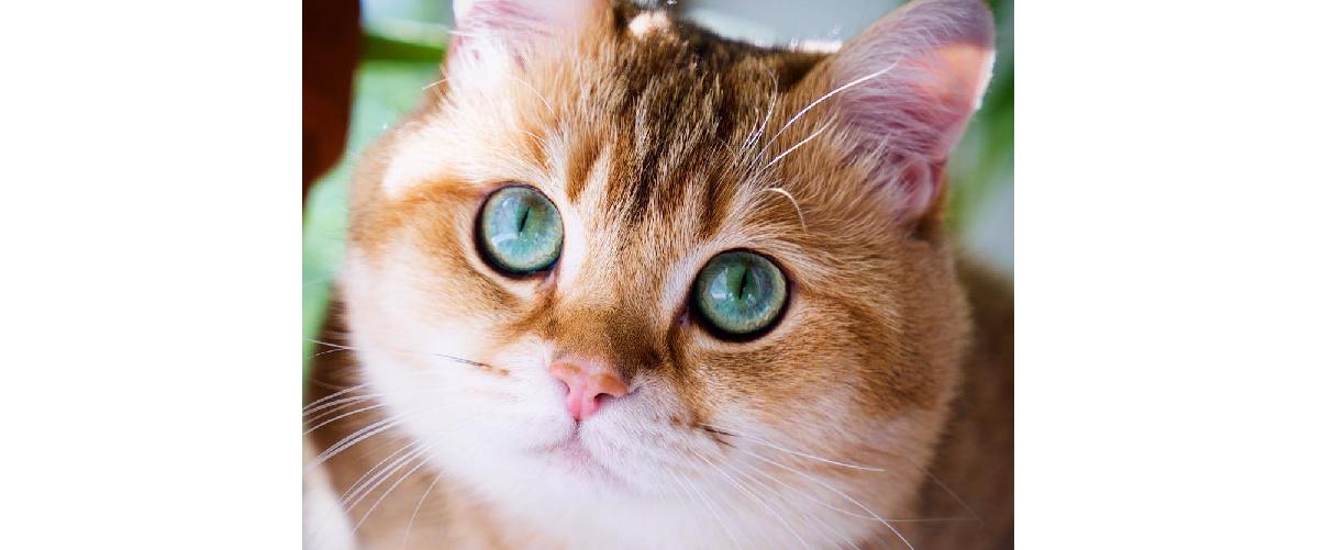 黄金の毛色にグリーンの瞳…『星の子』と呼ばれるまんまる猫ちゃんが、世界中を釘付けに☆(13枚)