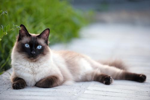 気品溢れる高貴な猫! シャムの性格や特徴、飼い方について
