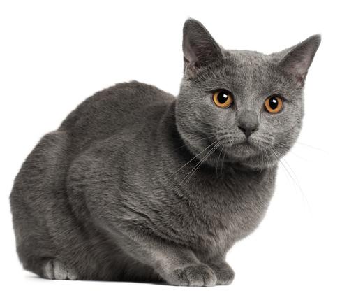 偉人も愛したフランスの「微笑み猫」 シャルトリューの全て!