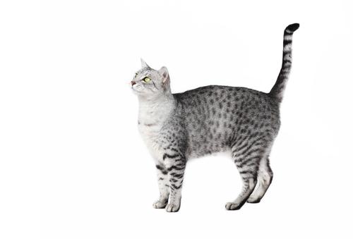 古来の猫「エジプシャン・マウ」の能力とは!? 魅力に迫る。