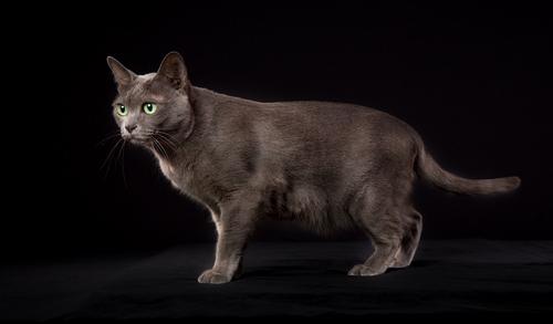 幸運を運ぶ微笑みの国の猫 コラットってどんな猫なの?