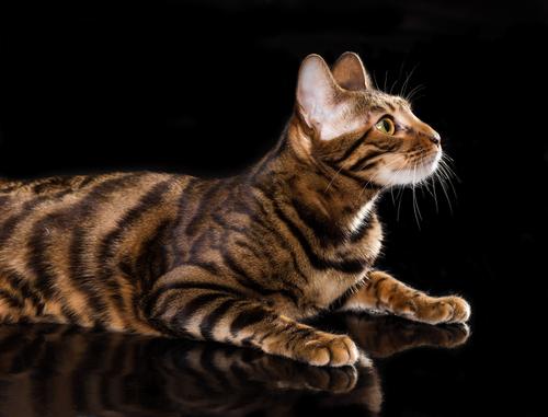 その姿はまさに小さなトラ!! トイガーっていったいどんな猫?