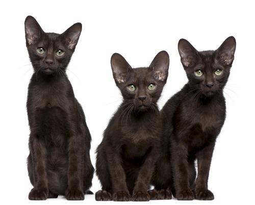 チョコレート色のとっても賢い猫 ハバナブラウンをご紹介します!
