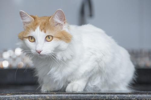 ふわふわで水もへっちゃら!  ターキッシュバンってどんな猫?