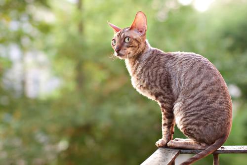 巻き毛の超短毛猫・コーニッシュレックス。その魅力を探ります