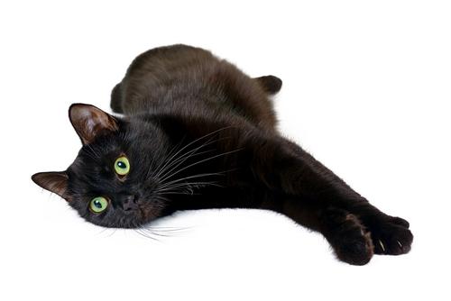 猫界の黒豹!ボンベイ 〜特徴からかかりやすい病気まで〜