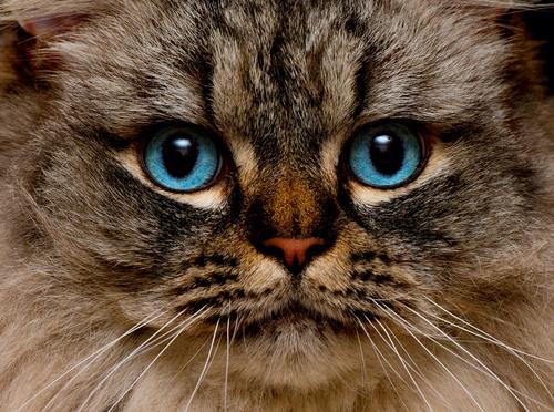 【猫】ラガマフィンについてまとめ!