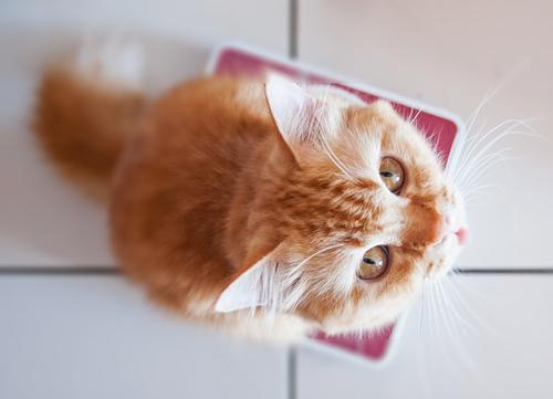 猫の肥満はどれくらい? 猫の体重を知って健康管理をしよう