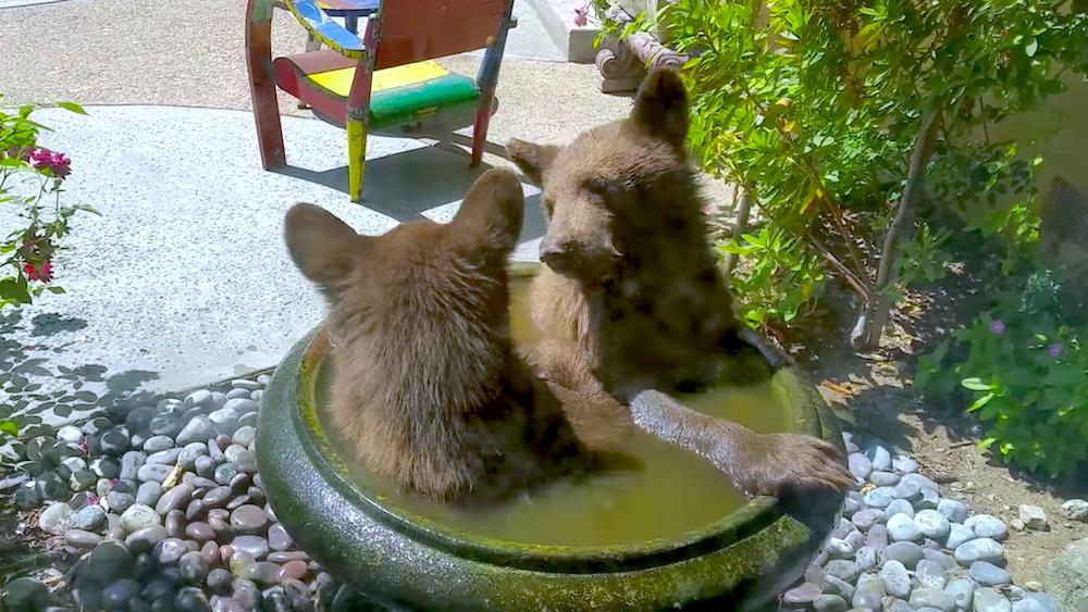 『このプール小さいよー!』鳥の水浴び場を、子熊の兄弟が占領 → 狭いけど仲良く遊ぶ姿が、カワイイ♡